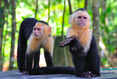 Spider Monkeys, Costa Rica. Two cute spider monkeys in Manuel Antonio National Park, Costa Rica stock photo