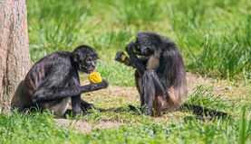 Spider monkeys enjoying a meal Stock Images