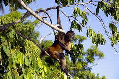 Spider Monkeys of the genus Ateles Stock Images