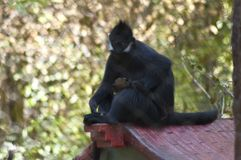 Spider Monkey stares down camera behind fence enclosure at the LA zoo stock photography