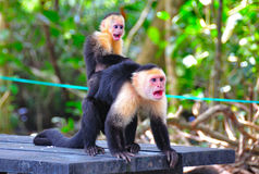 Spider Monkeys screaming, Costa Rica. Mother and baby spider monkeys screaming in Manuel Antonio National Park, Costa Rica stock image