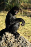 Spider monkeys. Stock Image