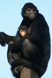 Spider monkeys - Zoo - France Royalty Free Stock Photo