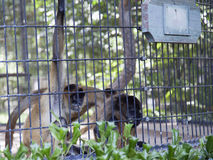 Spider Monkeys in the Zoo Stock Photo