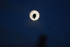Spider and moon Stock Image