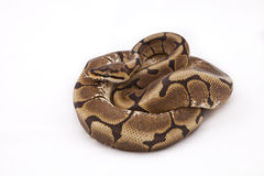 Spider morph Ball or Royal python. On white background Royalty Free Stock Photography