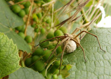 Spider mother. A spider mother with a ball with its future babies Stock Images