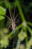 The Spider Moves in her Web Royalty Free Stock Images