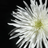 Spider Mum 1. Color shot of a white spider mum against a black background royalty free stock images