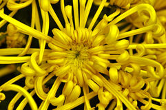 Spider mum close-up. Close-up of a beautiful spider mum flower with curly long petals stock images