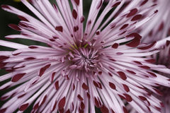 Spider mum flower Stock Photography