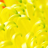 Spider mum petals close up Stock Images