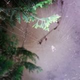 The spider in my garden. Spiderweb spread between green plants. Image taken with phone Stock Image