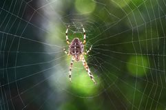Spider n web Royalty Free Stock Photos