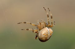 Spider in natural habitat Royalty Free Stock Photos
