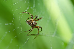 Spider in nature Royalty Free Stock Images