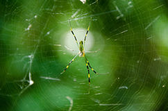 Spider, Nephila clavata Stock Photos