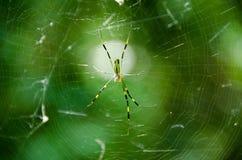 Spider, Nephila clavata Stock Photos