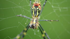 Spider, Nephila clavata Royalty Free Stock Photography