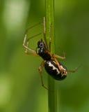 Spider Neriene peltata Stock Images