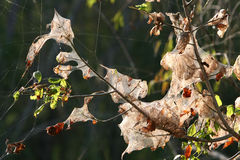 Spider nests hanging in the trees. Illuminated by the setting sun Royalty Free Stock Photo