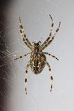 Spider on the net Stock Photography