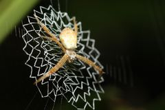 Spider at net Stock Photography
