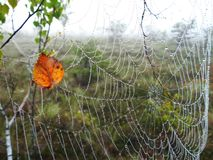 Spider net and birch tree leaf with morning dew, Lithuania. Beautiful birch tree leaf and spider net in morning dew in Aukstumalos swamp, autumn royalty free stock photo