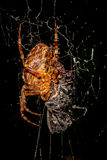 A spider in the net Royalty Free Stock Photography