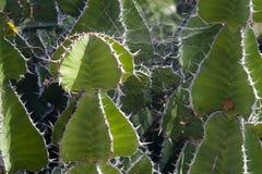Spider net on cactus. Spider net on exotic cactus Stock Photo