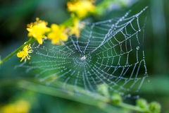 Spider. On net close-up short Royalty Free Stock Image