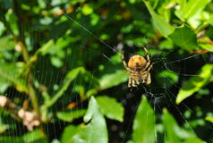 Spider with net Royalty Free Stock Photo