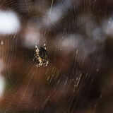 Spider in Net Royalty Free Stock Photos