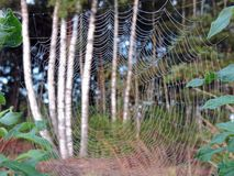 Spider net in swamp, Lithuania Royalty Free Stock Photo