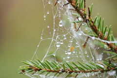 Spider net on a pine tree with water drops Royalty Free Stock Photo