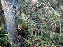 Spider net with spider  in swamp, Lithuania Royalty Free Stock Photo