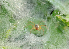 Spider on nets. Early morning spider on nets with many waterdrops stock image
