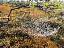 Spider nets in swamp, Lithuania Stock Photos