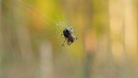 Spider on the network. Clean and bright daytime stock video footage