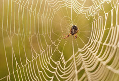 Spider on the network during sunrise. Stock Photos