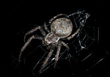 Hunting spider at night darkness (Larinioides ixobolus) Stock Photos