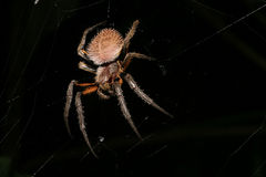 Spider at night hairy and scary animal Royalty Free Stock Image