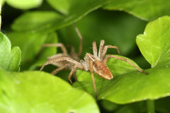 Spider On Leaf Stock Photo