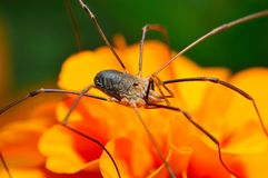 Spider opiliones Royalty Free Stock Images