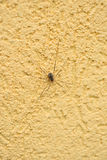 Spider opiliones on the yellow stucco wall Stock Photos