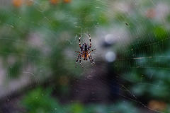 Spider orb insect with web pattern. macro view, horizontal soft focus. Spider orb-web insect with web pattern. macro view, horizontal soft focus photo Royalty Free Stock Images