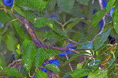 Spider orb web. With dew on plum tree Stock Photos
