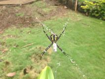 Spider, orb web, orb web weaver. Black and Yellow Spider, orb web weaver, golden orb web, orb web spider, large spider, spider web, caught in web, spider eating Royalty Free Stock Image