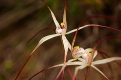 Spider orchid (Caladenia varians) Royalty Free Stock Photo