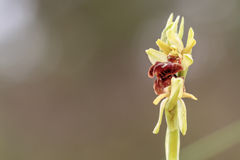 Spider Orchid. Macro Picture with blurred background of a Rare Wildlife Early Spider Orchid (Ophrys araneola Royalty Free Stock Photography